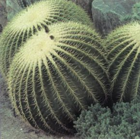 Golden barrel cactus is sometimes called mother-in-law's cushion -- perhaps because of the hooked spines that covers it. See more pictures of cacti.