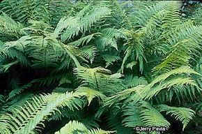 The golden scaled male fern can grow quite tall and is therefore favored for landscaping purposes.