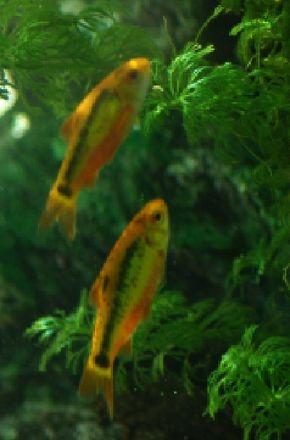 Golden Barb -- See more aquarium fish pictures.