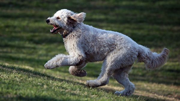 Why Is the Goldendoodle So Popular, and Do They Make Good Pets?