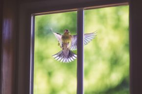 Goldfinch at the window? He's probably just fighting his reflection, not acting as a harbinger of doom.