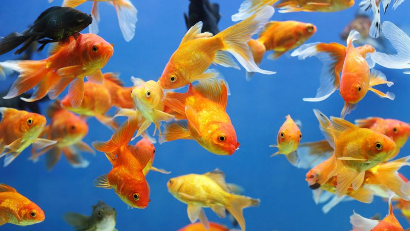 goldfish and other fish