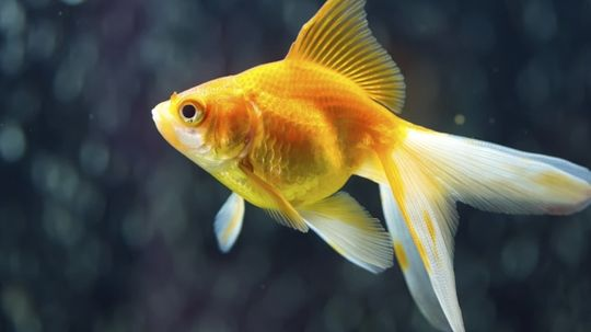 How much can a goldfish remember?
