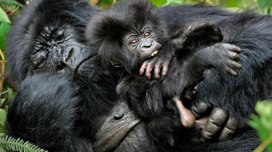 Why do gorillas build new nests every night?