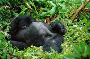 Counting abandoned gorilla nests is the most common way that wildlife experts estimate the size of gorilla populations.