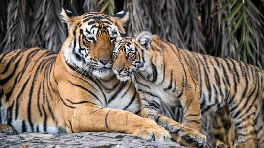 GPS Could Help Tigers and Traffic Coexist in Asia