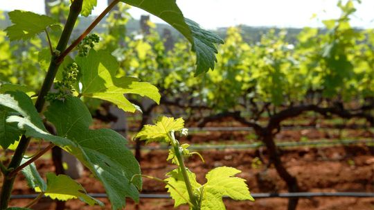 What Do Winemakers Do With Grape Waste?