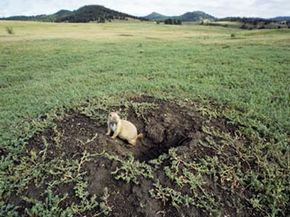 Prairie dogs are just one species that benefit from the agreements between ranchers and conservationists.