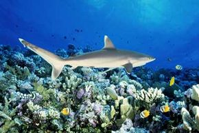 Coral reefs host vast amounts of life, including silvertip sharks like this one.