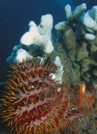 The crown-of-thorns starfish destroys entire coral colonies.