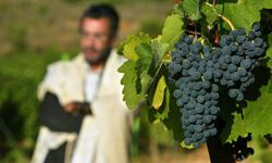 Ultra-Orthodox Jew Haim Abergil stands alongside ripening Shiraz grapes in a Dalton vineyard as he recites his morning prayers during their Sauvignon Blanc grape harvest August 19, 2004. See our collection of wine pictures.