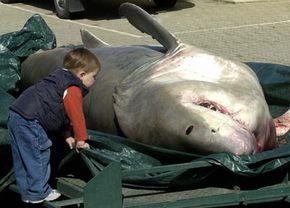 This great white shark was accidentally caught in a fishing line and died.