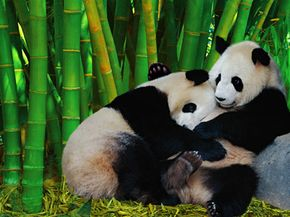 Although panda bears enjoy noshing on bamboo, the popularity of the reedy grass as housing material may come at the cost of biodiversity.