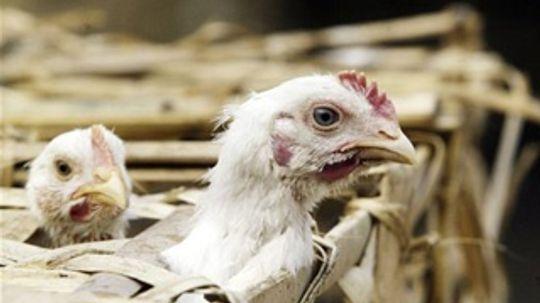 The History of Bird Flu