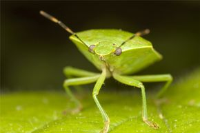 "The green stink bug (Chinavia hilaris) is a member of the order Heteroptera, meaning it's a ""true bug."""