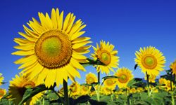 Sunflowers thrive in hot weather -- probably shouldn't plant them in Alaska.