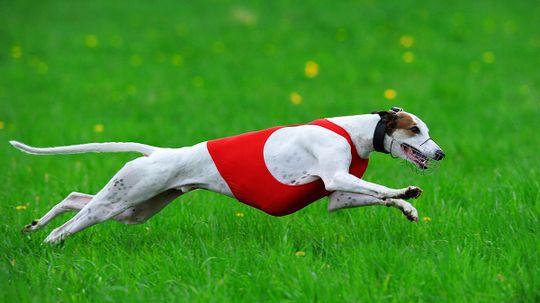 Do you need to take a pet greyhound on runs?