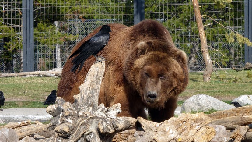 grizzly bear Sam