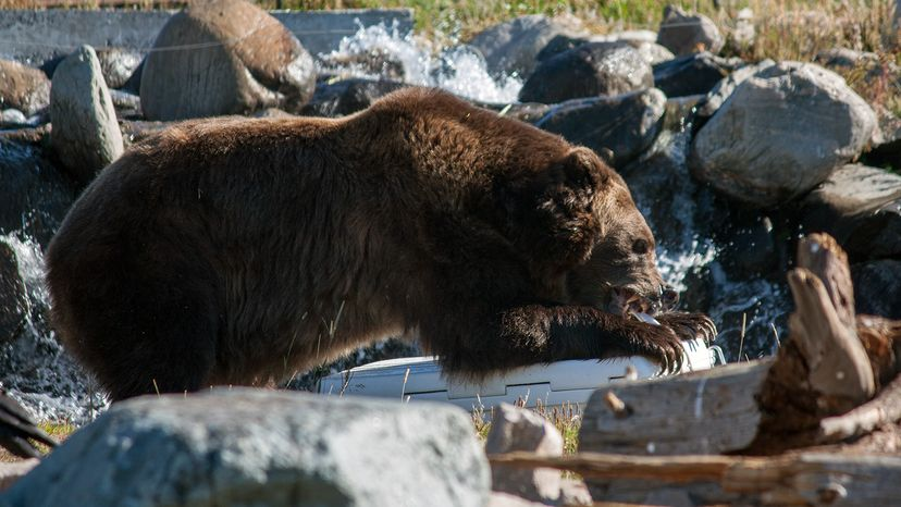 Grizzly tearing up cooler