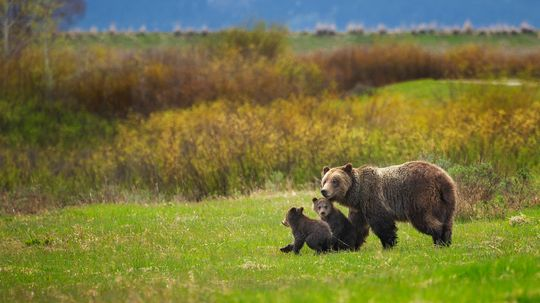 Yellowstone Grizzly Bears Lose Endangered Species Protections