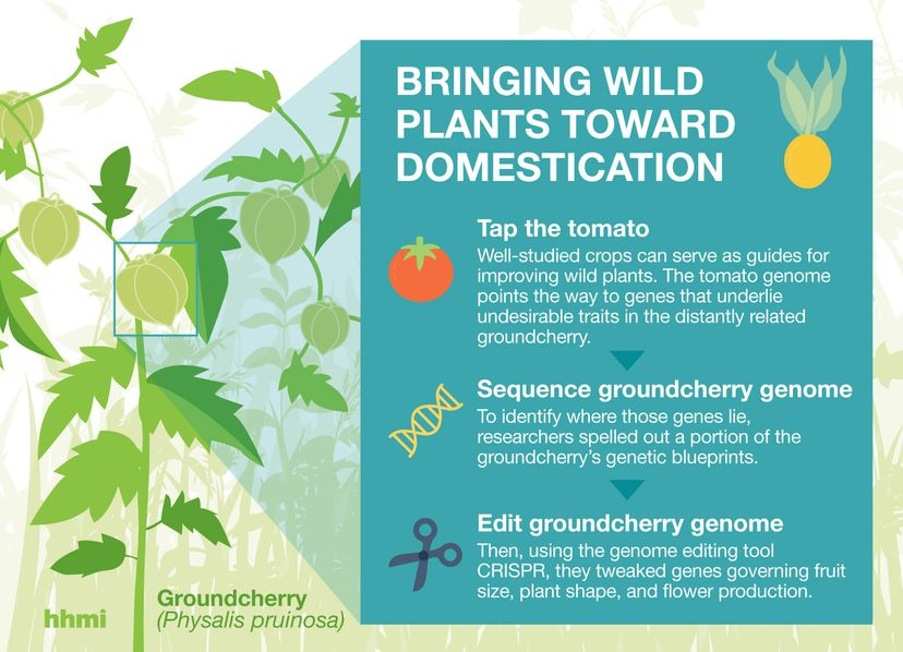 groundcherry graphic