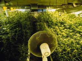 Controlled Substance Image Gallery An oscillating fan cools down the crops in a grow house. See more controlled substance pictures.
