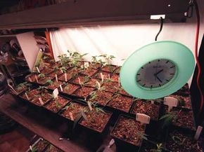 Young cannabis clones grow at the Los Angeles Cannabis Resource Center.