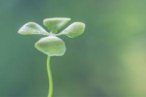 Clover, like all plants with chlorophyll, creates energy through photosynthesis.