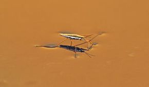 A water strider demonstrates surface tension.