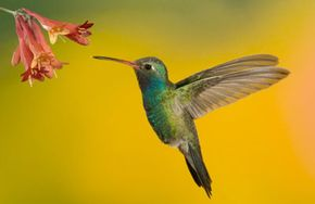 Hummingbirds hover in the air like miniature helicopters. See more pictures of hummingbirds.