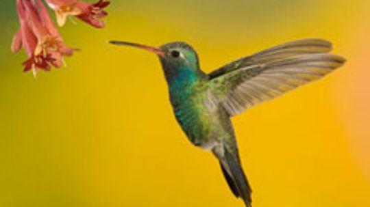 Hummingbird Pictures