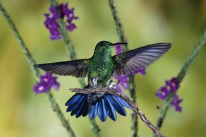 Hummingbirds, like this steely-vented hummingbird in Costa Rica, are nearly always on the go. See more hummingbird pictures.