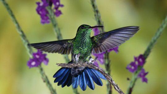 Do hummingbirds have sex in midair?