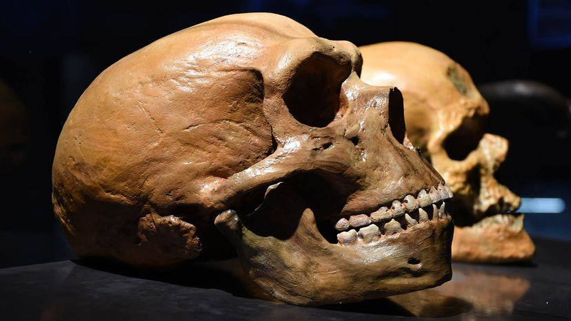 Neanderthal human skull