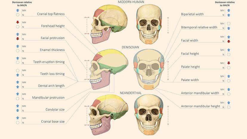 modern human, Neanderthal and Denisovan skulls