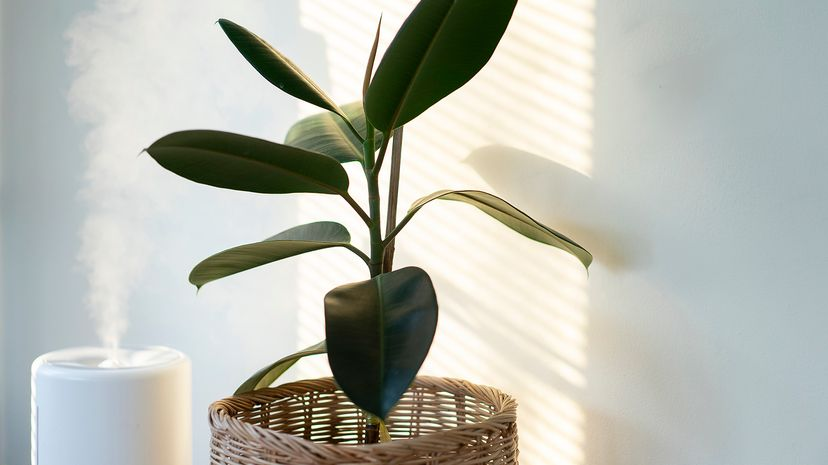 Humidifier and plant