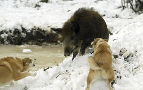 Wild boar are found (and hunted) throughout the world. This boar is cornered by two hunting dogs at a kennel in Belarus.