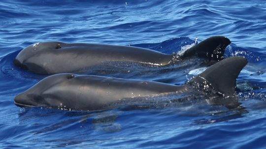 Rare Hybrid Whale-dolphin Spotted in Hawaii