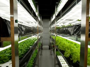 Hydroponics lettuce farming -- possibly how all of our vegetables will be grown in the future.