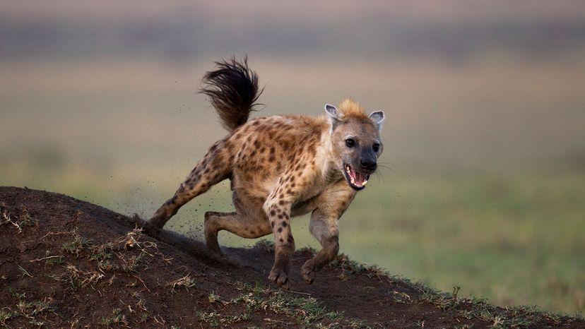 spotted hyena, Kenya