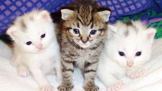 Would you pay $6,000 for a hypoallergenic cat?