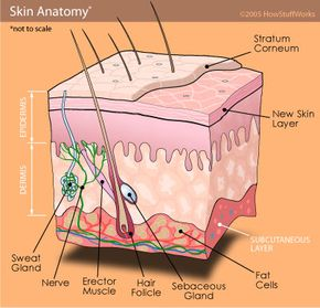 A cutaway diagram of a section of skin shows where sweat is produced in glands which lay coiled just beneath the surface.