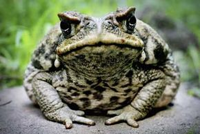 Ribbett. Australia wants to give cane toads the boot.