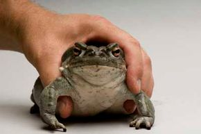 People in the United States have used excretions from the Colorado River toad to get high.