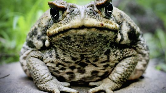 Are there really hallucinogenic frogs?