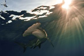 The great hammerhead shark. See more shark pictures.