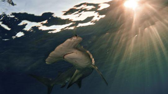How Hammerhead Sharks Work