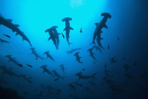 The schooling tendencies of scalloped hammerheads make them unique among sharks.