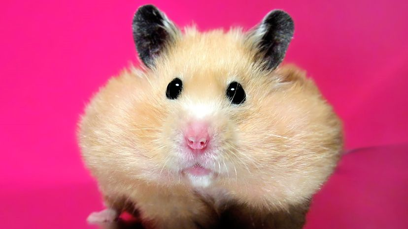 Cutest hamster ever