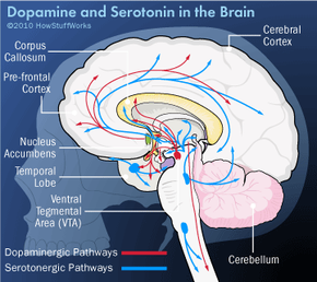 Dopamine and serotonin in the brain